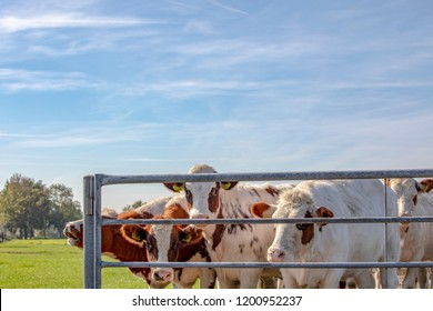 A herd red and white heifers behind a fence, next to each other with a background of trees and sky with contrails.