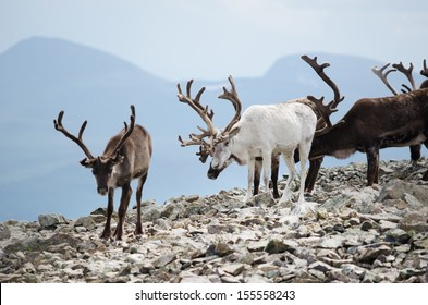 A herd of reindeer in Jotunheimen national park, Norway.
