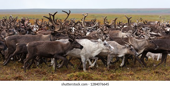 Herd of reindeer on a yearly migration in the polar tundra. Arctic region, Yamal peninsula. Reindeers migrate for a best grazing.