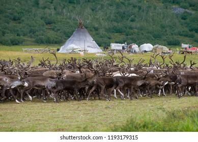 A herd of reindeer passes a Khanty-reindeer herders camp. Yamal, Russia