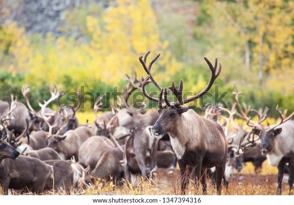 herd-reindeer-tundra-autumn-foreground-6