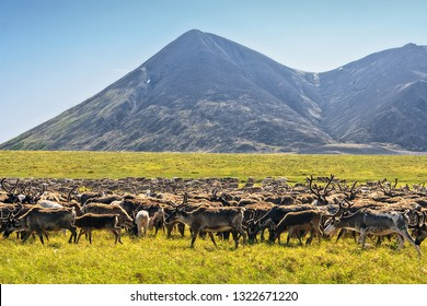 Herd of reindeer in the valley among the hills. Sunny day in the Arctic. Summer tundra in the Extreme North. Chukotka animals. Ushkany ridge, Chukotka, Siberia, Far East of Russia.