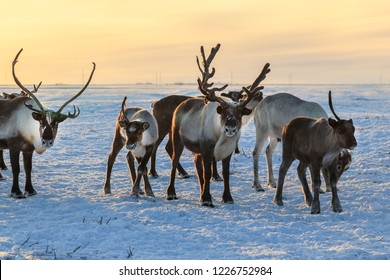 Herd of reindeer in winter weather, pasture reindeer