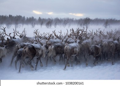 a herd of reindeers run through the snow in the tundra