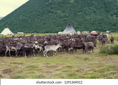 Herd of reindeers at a settlement of nomads reindeer breeders. Yamal, Russia