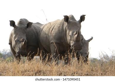 herd of rhino in the african bush, standing in dry grass