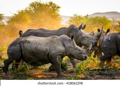 Herd of rhino fighting in dust at sunrise, South Africa