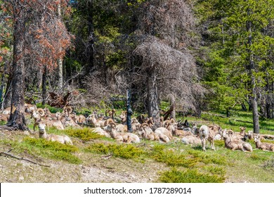 Herd of Rocky Mountain Big Horned Sheeps resting in Banff NP in springtime - Alberta Canada