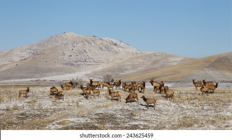 Herd of Rocky Mountain Elk, Cervus canadensis, in terrain of rolling hills in winter with snow, frost, and a clear blue sky background Montana big game environmental portrait