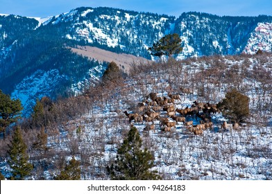 A herd of rocky mountain elk (Cervus canadensis nelsoni) sunning on hillside in Colorado, approximately 50 cows and calves.