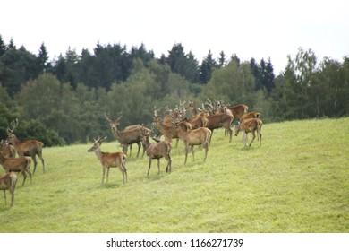 herd roe deer