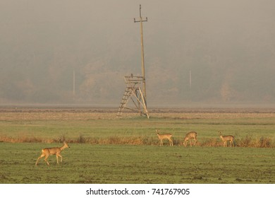 Herd of roe deer and a buzzard in foggy morning in Poland