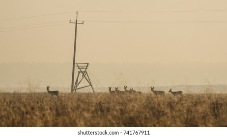 Herd of roe deer in foggy morning in Poland