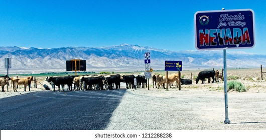 A herd of rogue cattle blocks the roard at the Nevada-California border.