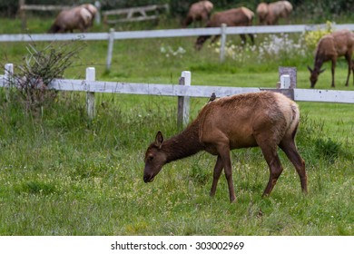 herd of roosevelt elk relaxing on green spring grass in northern California