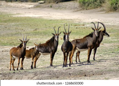 Herd of sable antelope with calves in Chobe National Park, Botswana