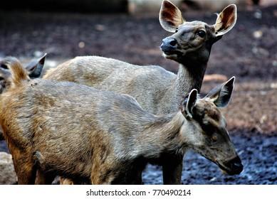A herd of Sambar deer