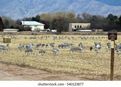 Herd of sandhill cranes in field. Poblanos Fields Open Space, Albuquerque, New Mexico.