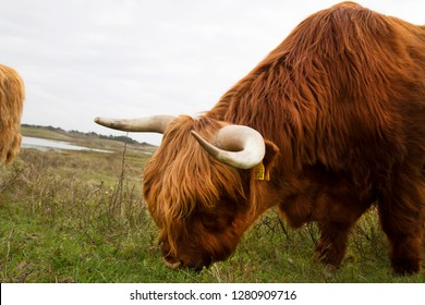 herd of Scottish Highland Cattle or cows, walking and grazing in the coastal dunes