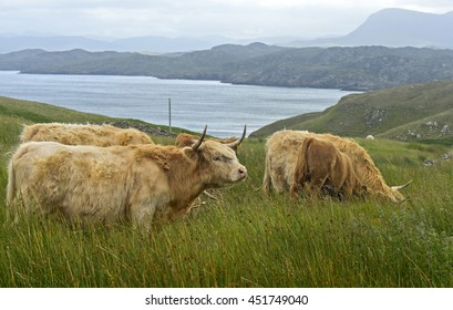 Herd of Scottish Highland Cattle on a pasture, Scotland, Great Britain