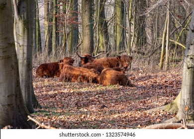 Herd of Scottish Highlanders lying and ruminating in the forest. Amsterdam, The Netherlands, Europe.