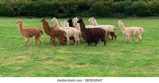 Herd of shaggy suri alpacas in the green pasture in Cusco, Peru. Funny peruvian animal alpaca. Vicugna pacos. Funny animals of different colors: brown, dark brown, solid white, black, sorrel.