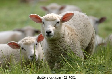 a herd of sheep