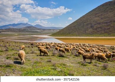 Herd of Sheep against Meke crater lake