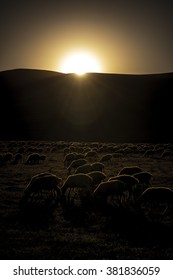 A herd of sheep beautifully rim lit at sunset