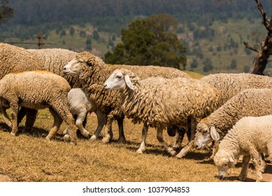 Herd of sheep climbing uphill for grazing tender grass
