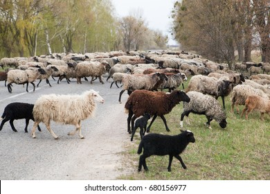 A herd of sheep crosses the road