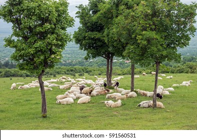 A herd of sheep and goats is on the pasture under the trees.