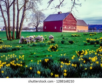 A herd of sheep graze among daffodils in a pasture in front of a red barn near Jefferson, Oregon