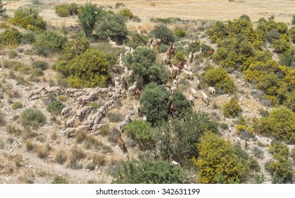 Herd of sheep grazes among trees on stony hill slope. Cyprus.