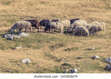 Herd of sheep grazing in alpine pastures field in the Slovenian Julian Alps. Triglav National Park.