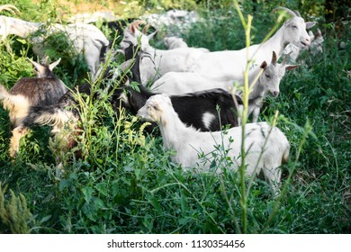 A herd of sheep grazing in a meadow, eating grass and plants. White goat, black goat, spotted goat grazing in a meadow