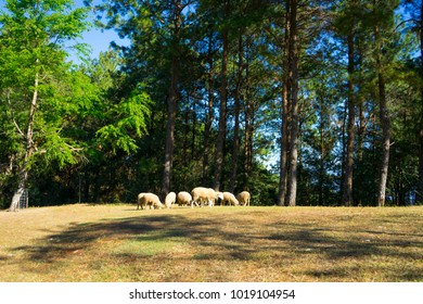 Herd of sheep grazing in the mountains.