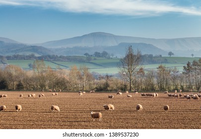 Herd of sheep grazing on bare field with scenic hilly landscape in bacground. Herefordshire in United Kingdom