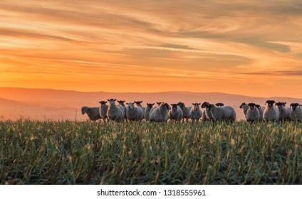 Herd of sheep grazing on hilly pasture in light of warm setting sun. Shropshire in United Kingdom
