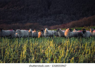 Herd of sheep grazing on hilly pasture in warm sunset light. Shropshire in United Kingdom