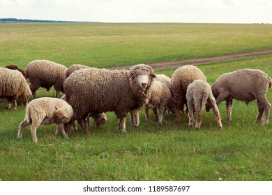 herd of sheep grazing on a meadow