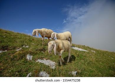 Herd of sheep grazing on the plateau of Monte Baldo above Lake Garda (Lago di Garda or Lago Benaco), Malcesine, Lombardy, Italy.