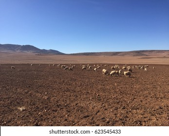 Herd of sheep in the harsh countryside north of Fez, Morocco