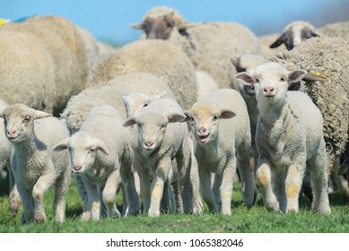 Herd of sheep and lambs on field