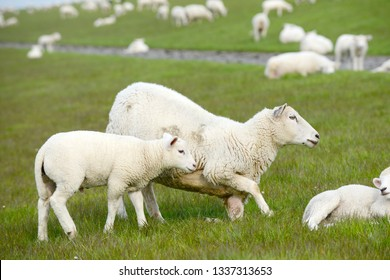 herd of sheep, sheep and lambs on meadow