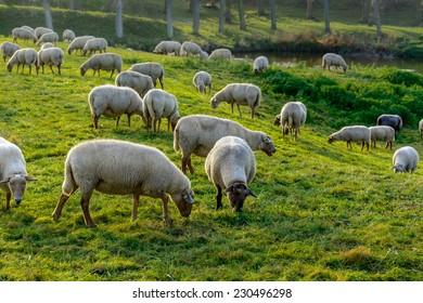 Herd of sheep in late autumn, Zeeland, Holland
