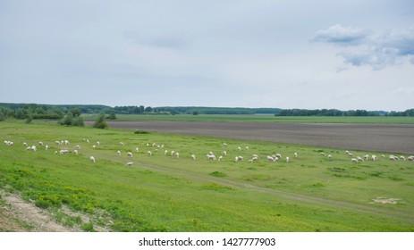 herd of sheep in the meadow