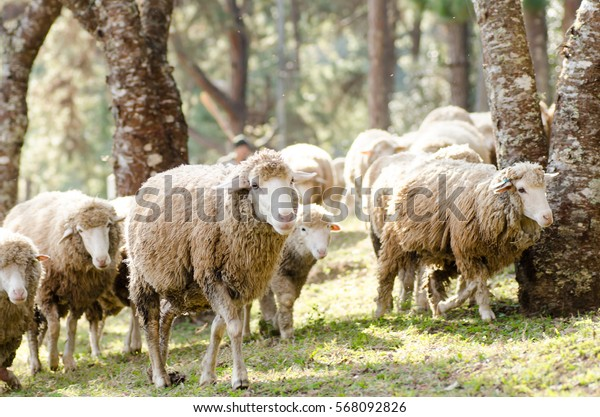 Herd of sheep in the morning