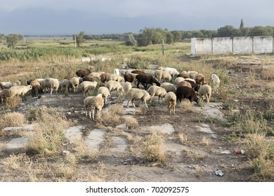 Herd of sheep on the field