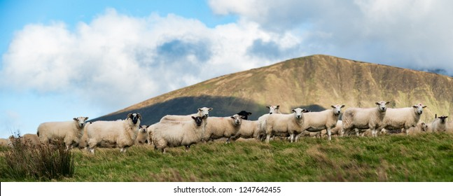 Herd of sheep on a grass hillside, Rural farmland on the Dingle peninsula in the Republic of Ireland